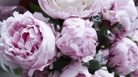 peonies-e1523294327124.png